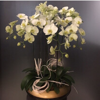Phalaenopsis in ceramic vase